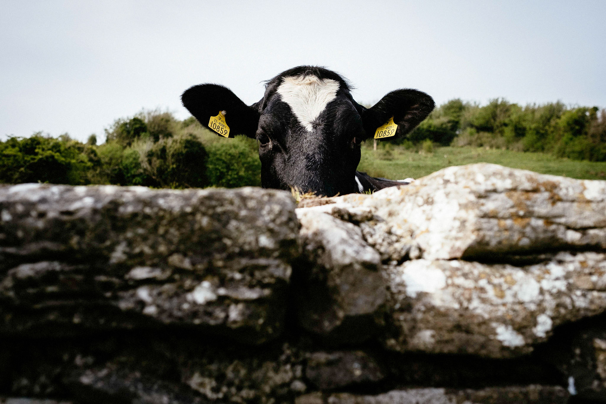 cow at corcomroe abbey